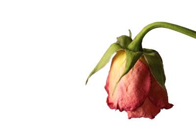 rose-swf.jpg